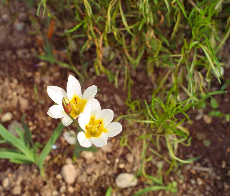 babatanukiのブログ-日之本元極気功教室 白い花