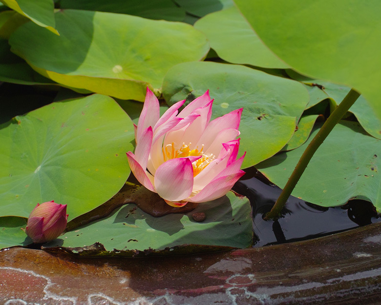 babatanukiのブログ-日之本元極 蓮の花