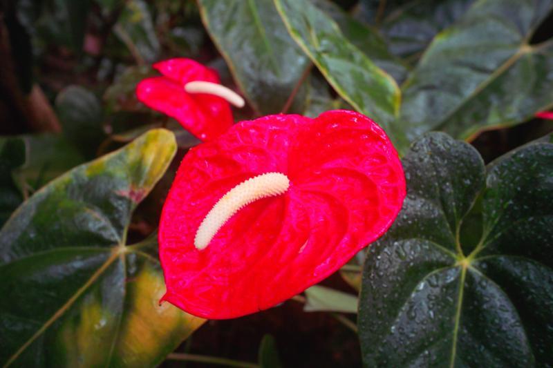 babatanukiのブログ-日之本元極気功教室 赤い葉
