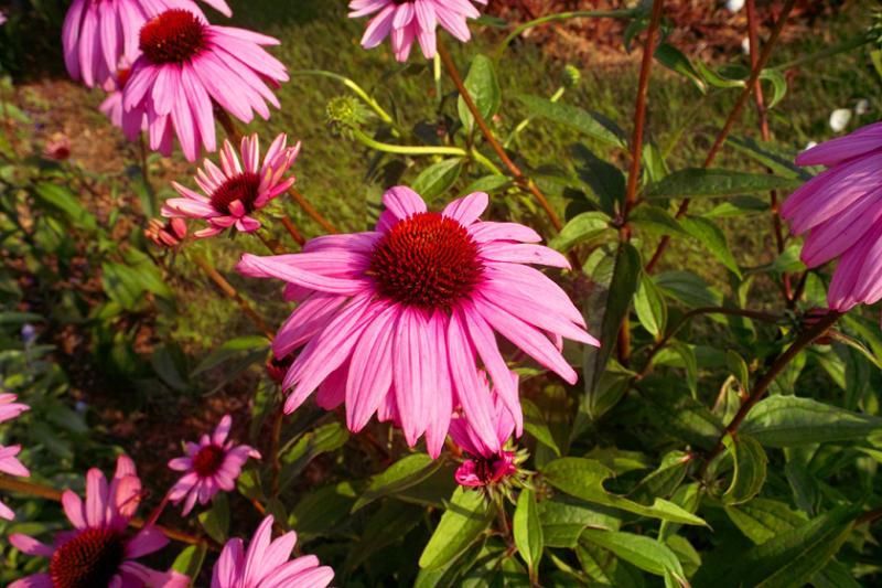 babatanukiのブログ-日之本元極気功教室 ピンクの花